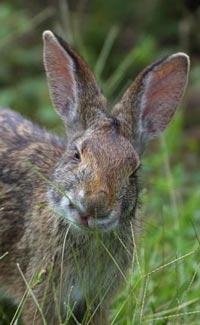 rabbit200